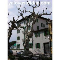 Çınar Ağacı Platanus Occidentalis 14-16 Cm Çapında