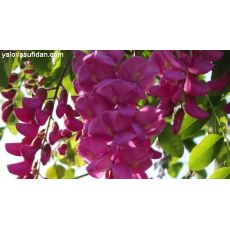 Akasya Ağacı Fidanı Acacia Pembe Çiçekli