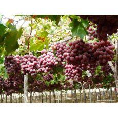 Asma Üzüm Fidanı Red Globe Grape