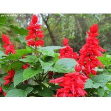 Ateş Çiçeği Kırmızı Çiçekli Salvia Splendens 45 Adet Fiyatımızdır