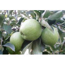 Elma Yarı Bodur Granny Simit Gransimit Meyveli