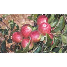 Elma Yarı Bodur Summer Red Meyveli