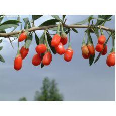 Goji Beery Fidanı Mutluluk Meyvesi Kurt Üzümü 50-70 Cm