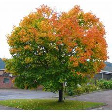 Çınar Yapraklı Akçaağaç Acer Platanoides 90-110 Cm