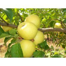 Elma Fidanı Golden