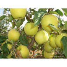 Elma Fidanı Yarı Bodur Golden