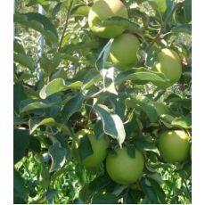 Elma Fidanı Yarı Bodur Granny Simit Gransimit