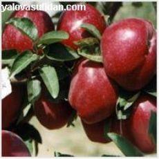 Elma Fidanı Starking Çıplak köklü Açık Köklü