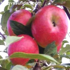 Elma Fidanı Yarı Bodur Amasya