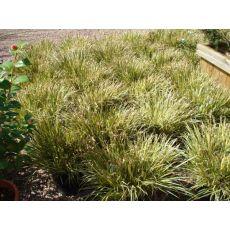 Karex Carex Morrowıı Aurea Variegate 20-25 Cm Çapı