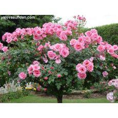Baston Gül Standard Roses 80-100 Cm