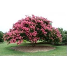 Oya Fidanı Ağacı Lagerstromia İndica 16 Çapı  çap 200-220 cm