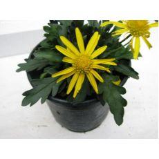 Sarı Papatya Çiçeği Euryops Pectinatus 15 Cm Çapı