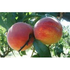 Şeftali Fidanı Hale Meyve Verir Durumda
