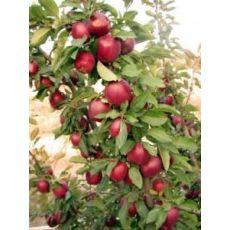 Elma Ağacı Starking 8-10 Gövde Çevresi