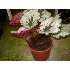 Yaprak Begonya Begonıa Rex 25-30 Cm