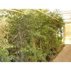 Yeşil Benjamin Ficus Benjaminına Exotica 200 Cm