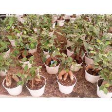 Ginseng Bonsai Ağacı Fidanı İthal 25-35 Cm