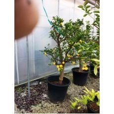 Limon Fidanı Limon Ağacı 140-160 Cm