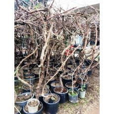 Üzüm Asma Ağacı  Red Globe Kırmızı 200 Cm
