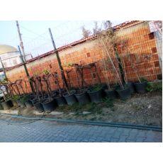 Üzüm Asma Ağacı  100-120 Cm