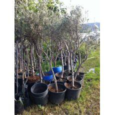 Zeytin Ağacı 250 Cm