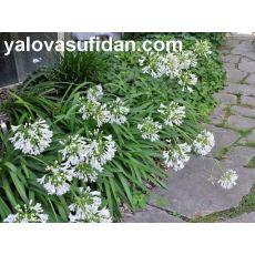 Agapanthus Afrika Zambağı Beyaz Çiçekli Agapanthus umbellatus 30-50 Cm