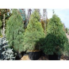 Ağlayan Çam Pinus Wallichiana 200-250 Cm