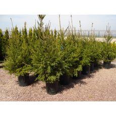 batı ladini İthal Picea Abies 150-175 Cm