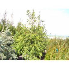 Batı Ladini Picea Abies 175-200 Cm