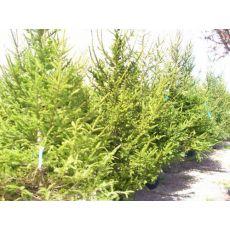 Batı Ladini Picea Abies 250-300 Cm