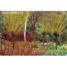 Süs Kızılcığı Sarı Gövdeli Cornus Alba Sibirica 50-70 Cm