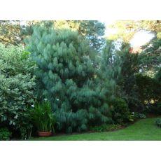 Ağlayan Çam Pinus Wallichiana 200 Cm