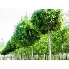 Defne Ağacı Fidanı Tijli Top Laurus Nobilis 200-250 Cm