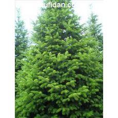 Yılbaşı Ağacı Doğu Karadeniz Göknarı Köknarı Abies nordmanniana 40-60 Cm