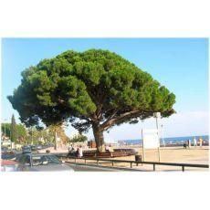 Fıstık Çam Pinus Pinea 100-110 Cm