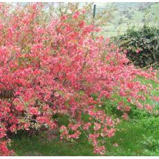 Bahar Dalı Süs Ayvası Pembe Çiçekli Chaenomeles Japonica