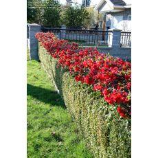 Bahar Dalı Süs Ayvası Kırmızı Çiçekli Chaenomeles japonica