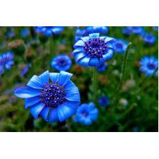 Felisya Çiçeği Mavi Papatya Felicia Amelloides 15-20 Cm