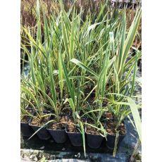 Formiyum Fidanı Formium phormium variegatum 60-80 Cm