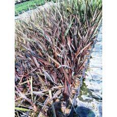 Formiyum Fidanı Formium Phormium Tenax Attropurpureum 80-100 Cm