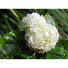 Full Yasemin Çiçeği Jasminum Katmerli