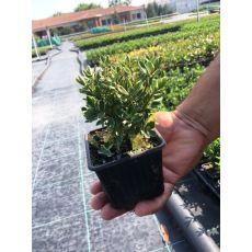 Hebe Fidanı Alaca Yapraklı Veronica 10-15 Cm