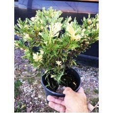 Alacalı Ardıç Juniperus Variegata