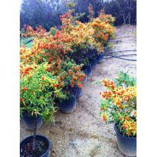 Ateş Dikeni Bodur Fidanı Pyracantha Coccinea nana 50-60 Cm Çapı