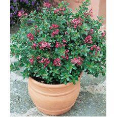 Eskolonya Çiçeği Escallonia Rubra Red Dream