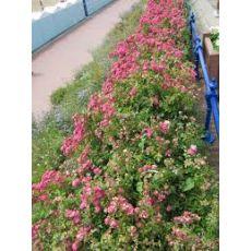 Eskolonya Çiçeği Escallonia Rubra Red Dream 15-25 Cm