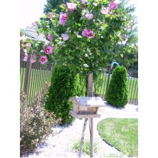 Hatmi Ağaç Fidanı Hibiscus Syriacus 150-175 Cm