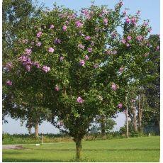 Hatmi Ağaç Fidanı Gövdesi Saç Örgüsü Şeklinde 100-120 Cm