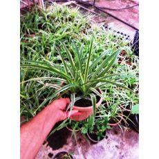 Karex Carex Bitkisi Askılı Saksıda